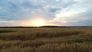 Пшеничное поле рядом с Жемово